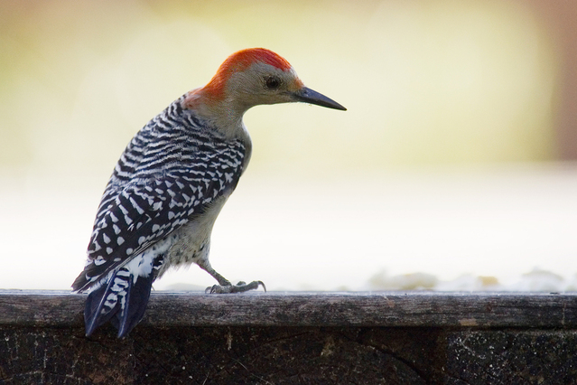 How To Get Rid Of Woodpeckers On Stucco The Woodpecker